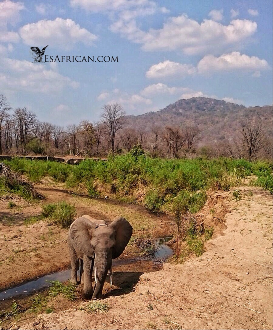 This stream marks the boundary with Liwonde National Park. Usually elephants do not observe this nicety but this one seem happy enough